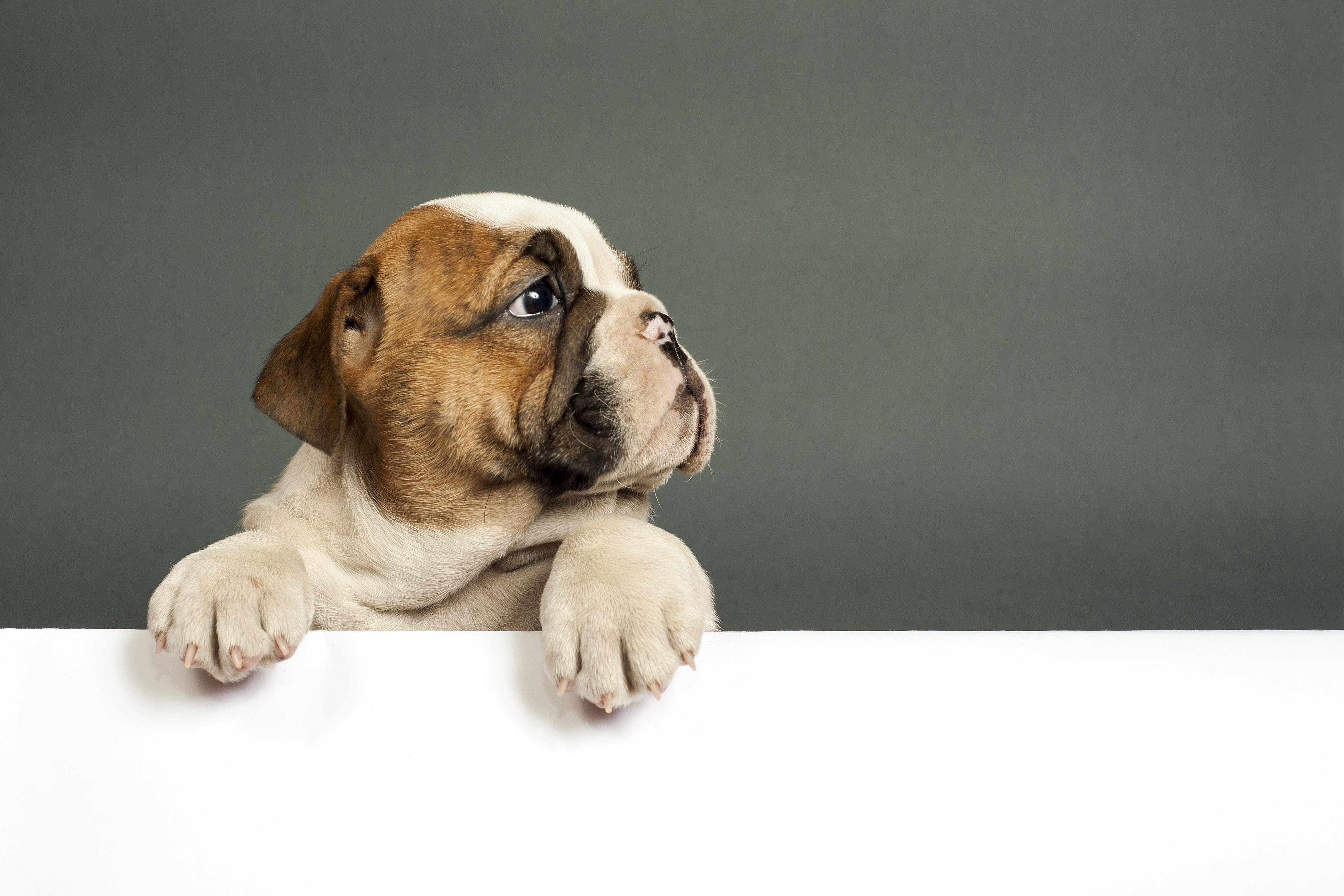 bulldog puppy 4k 1615884685 - Bulldog Puppy 4k - Bulldog Puppy 4k wallpapers