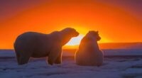 two polar bears watching sunset 4k 1615884666 200x110 - Two Polar Bears Watching Sunset 4k - Two Polar Bears Watching Sunset 4k wallpapers