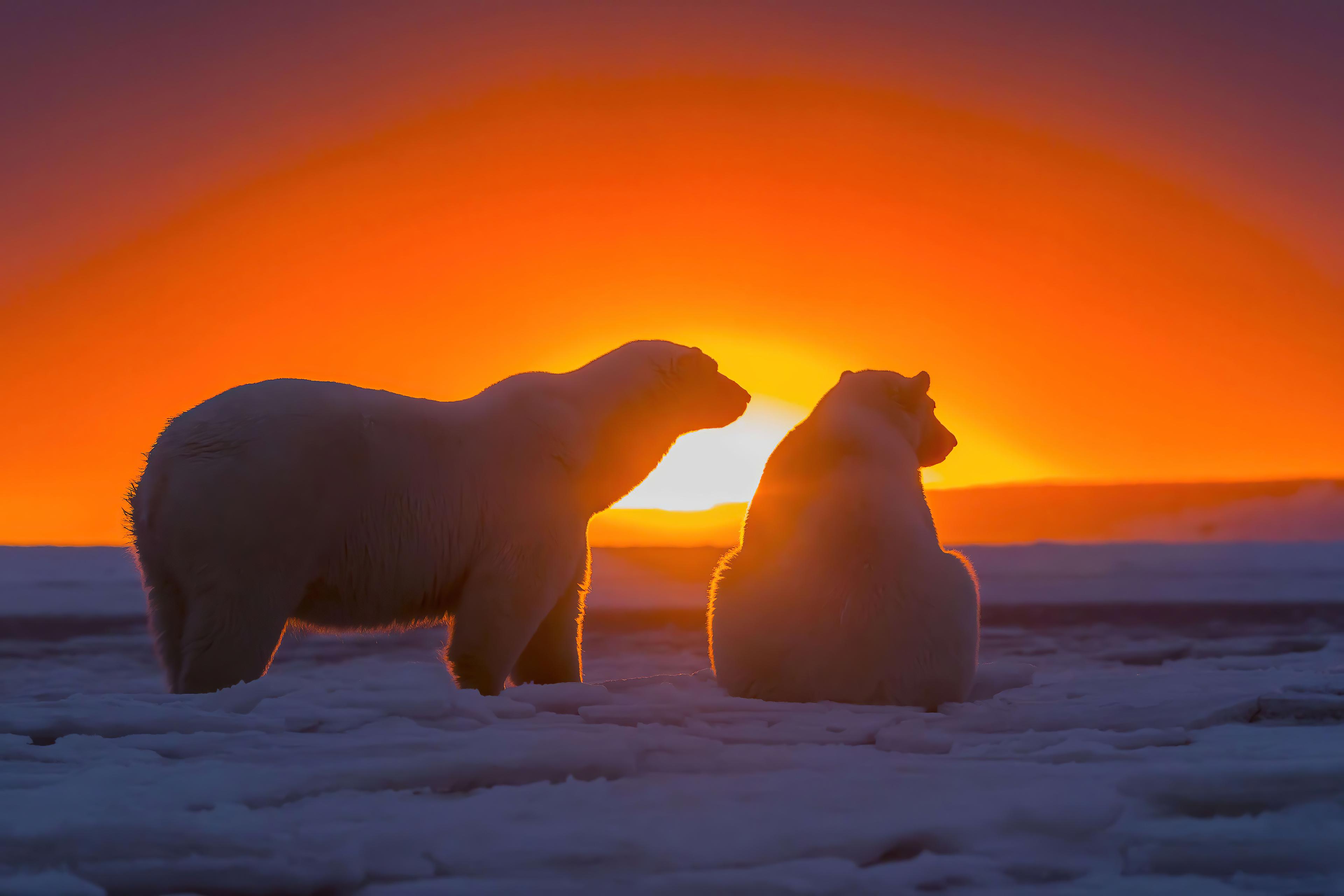 two polar bears watching sunset 4k 1615884666 - Two Polar Bears Watching Sunset 4k - Two Polar Bears Watching Sunset 4k wallpapers