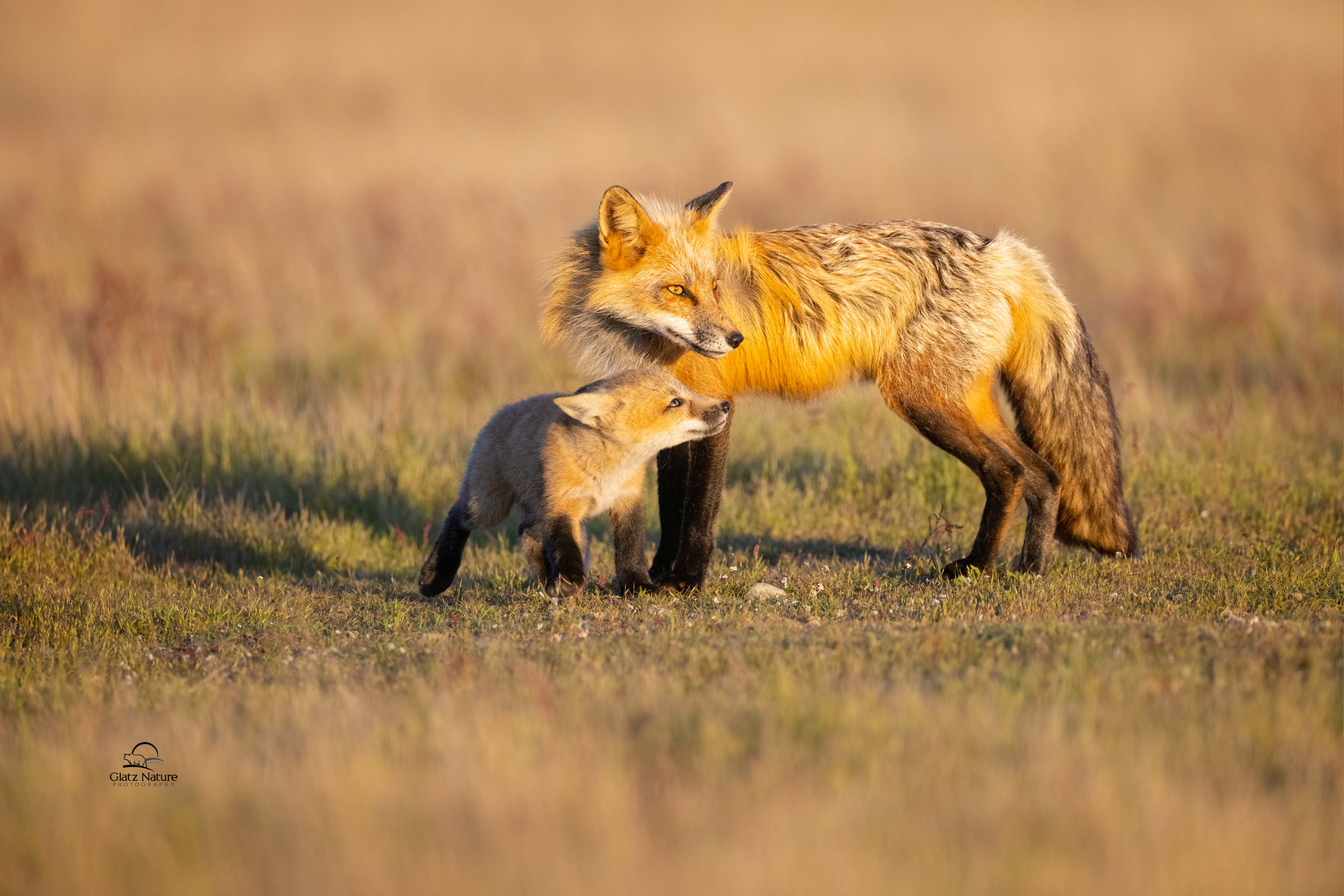 father and daughter fox 4k 1629139592 - Father And Daughter Fox 4k - Father And Daughter Fox wallpapers, Father And Daughter Fox 4k wallpapers