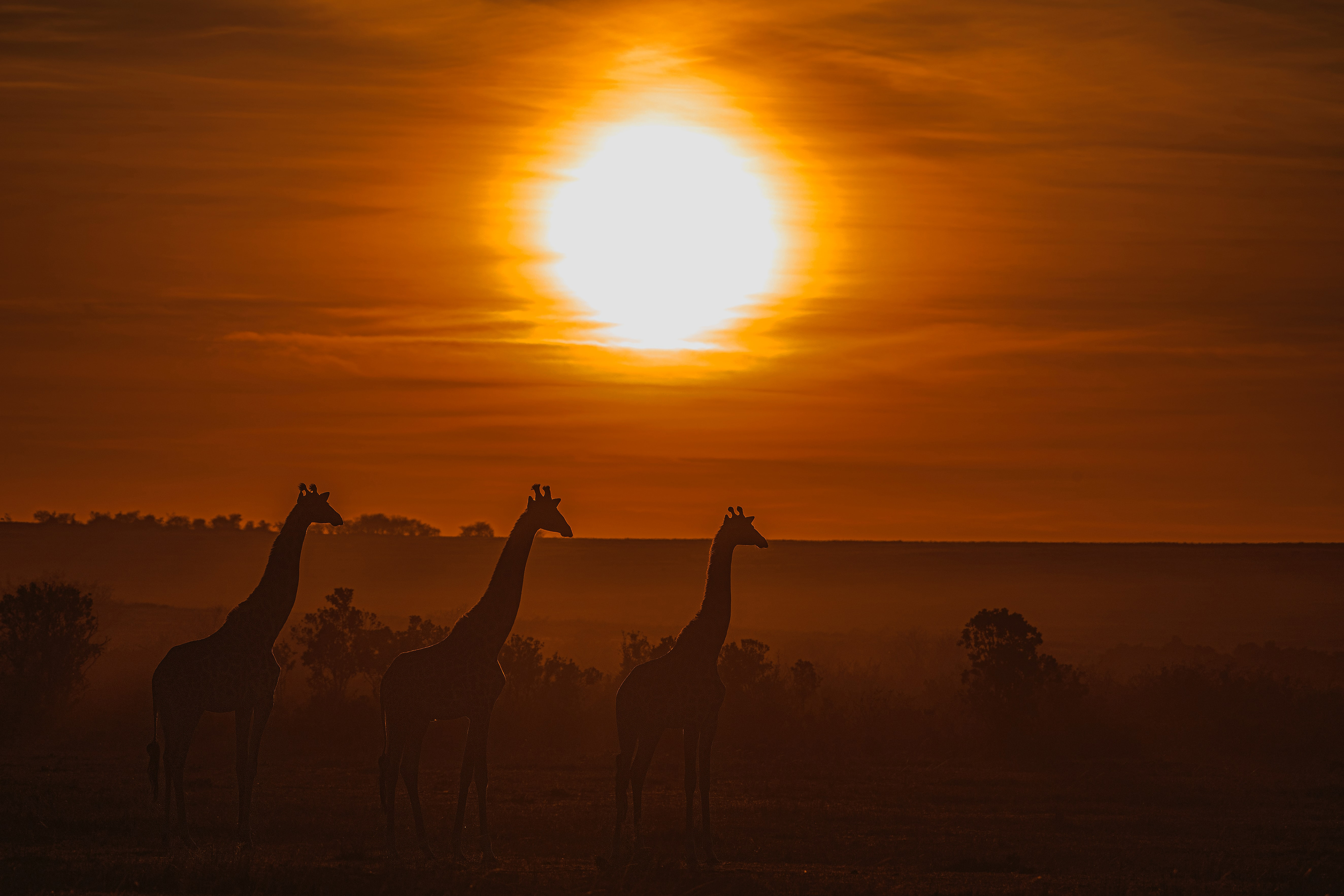 giraffe silhouette 4k 1629139604 - Giraffe Silhouette 4k - Giraffe Silhouette wallpapers, Giraffe Silhouette 4k wallpapers