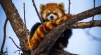 lesser panda 4k 1629139834 200x110 - Lesser Panda 4k - Lesser Panda wallpapers, Lesser Panda 4k wallpapers