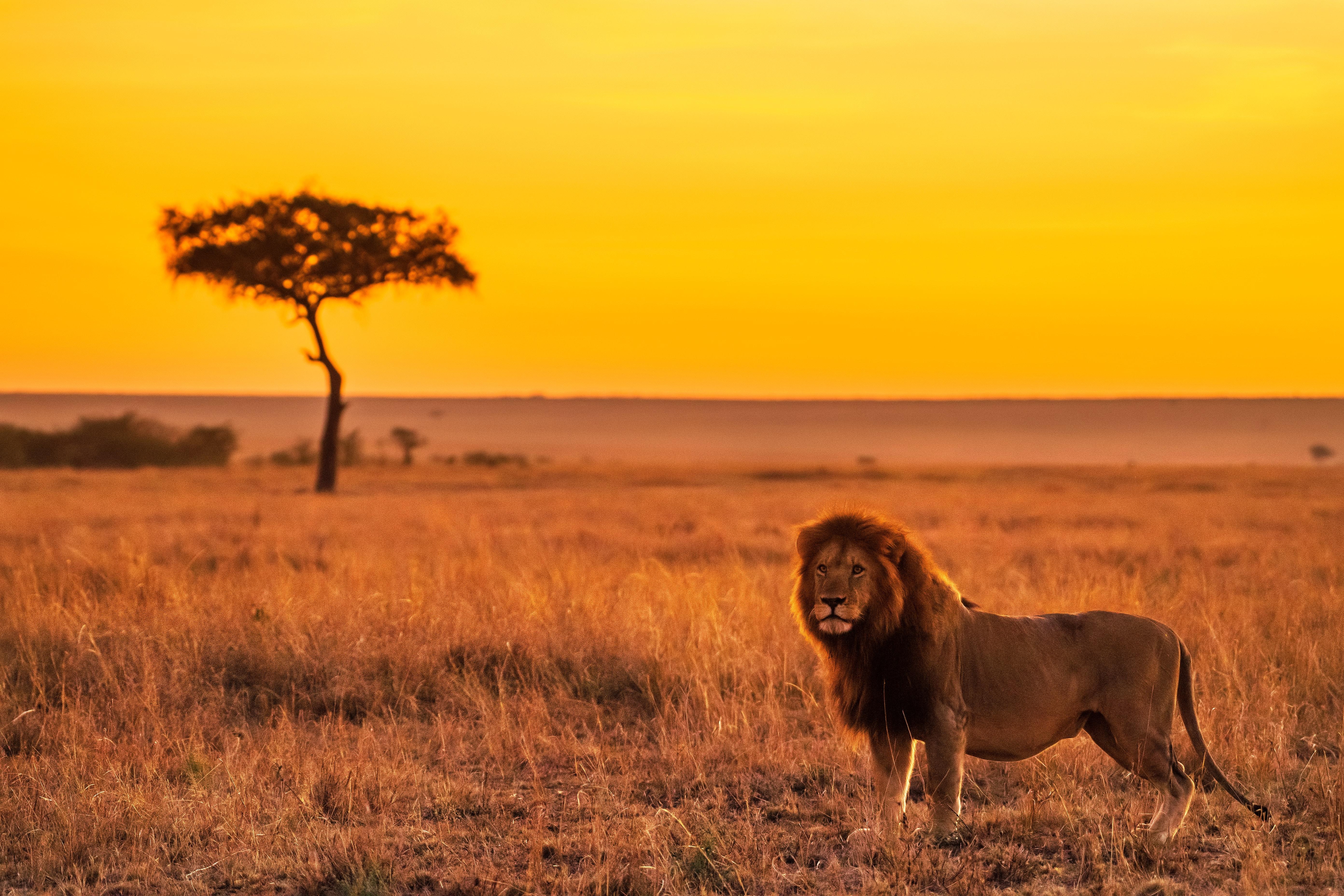lion on grass field 4k 1629139770 - Lion On Grass Field 4k - Lion On Grass Field wallpapers, Lion On Grass Field 4k wallpapers
