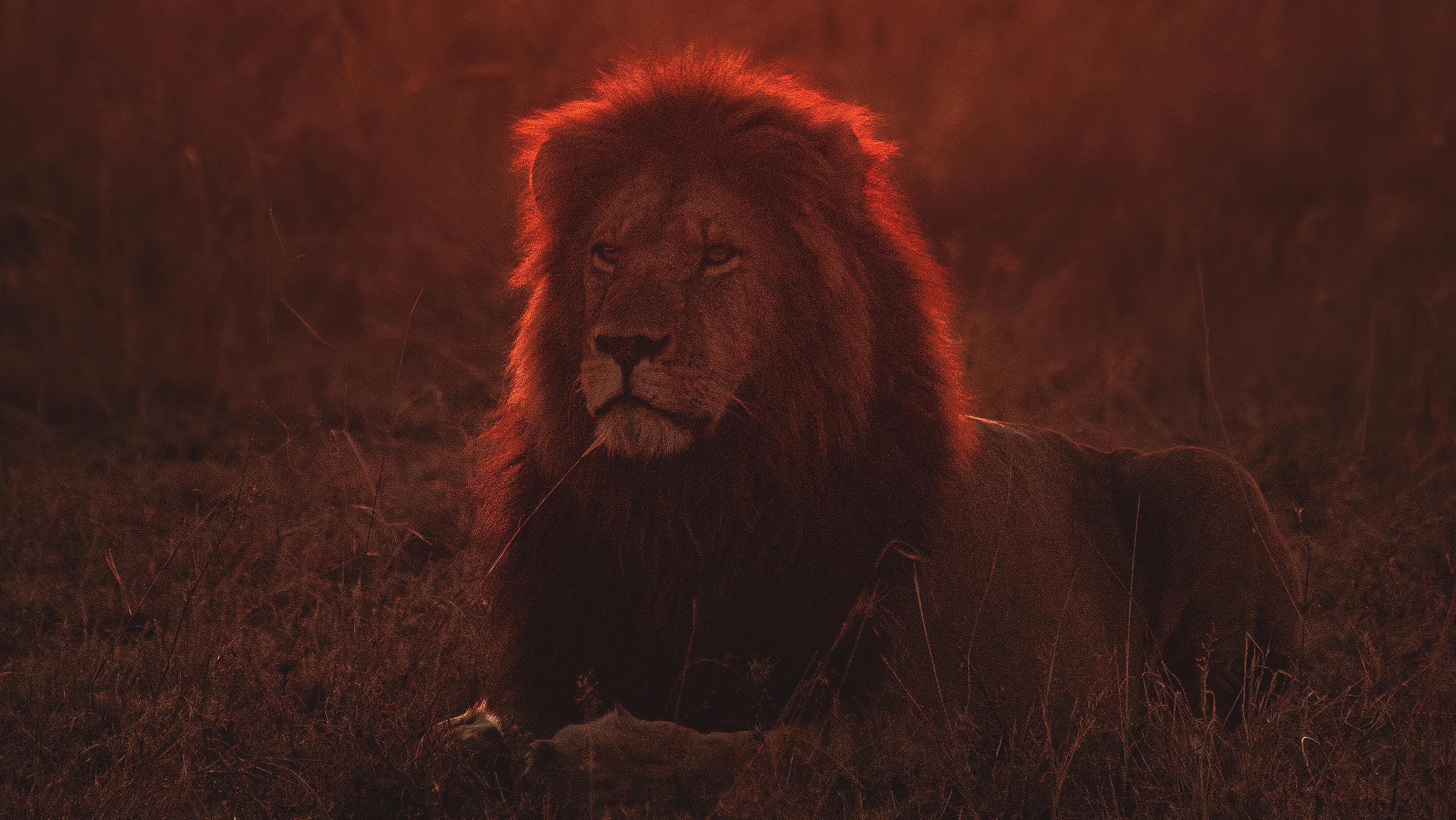 lion on green grass during golden hour 4k 1629139771 - Lion On Green Grass During Golden Hour 4k - Lion On Green Grass During Golden Hour wallpapers, Lion On Green Grass During Golden Hour 4k wallpapers