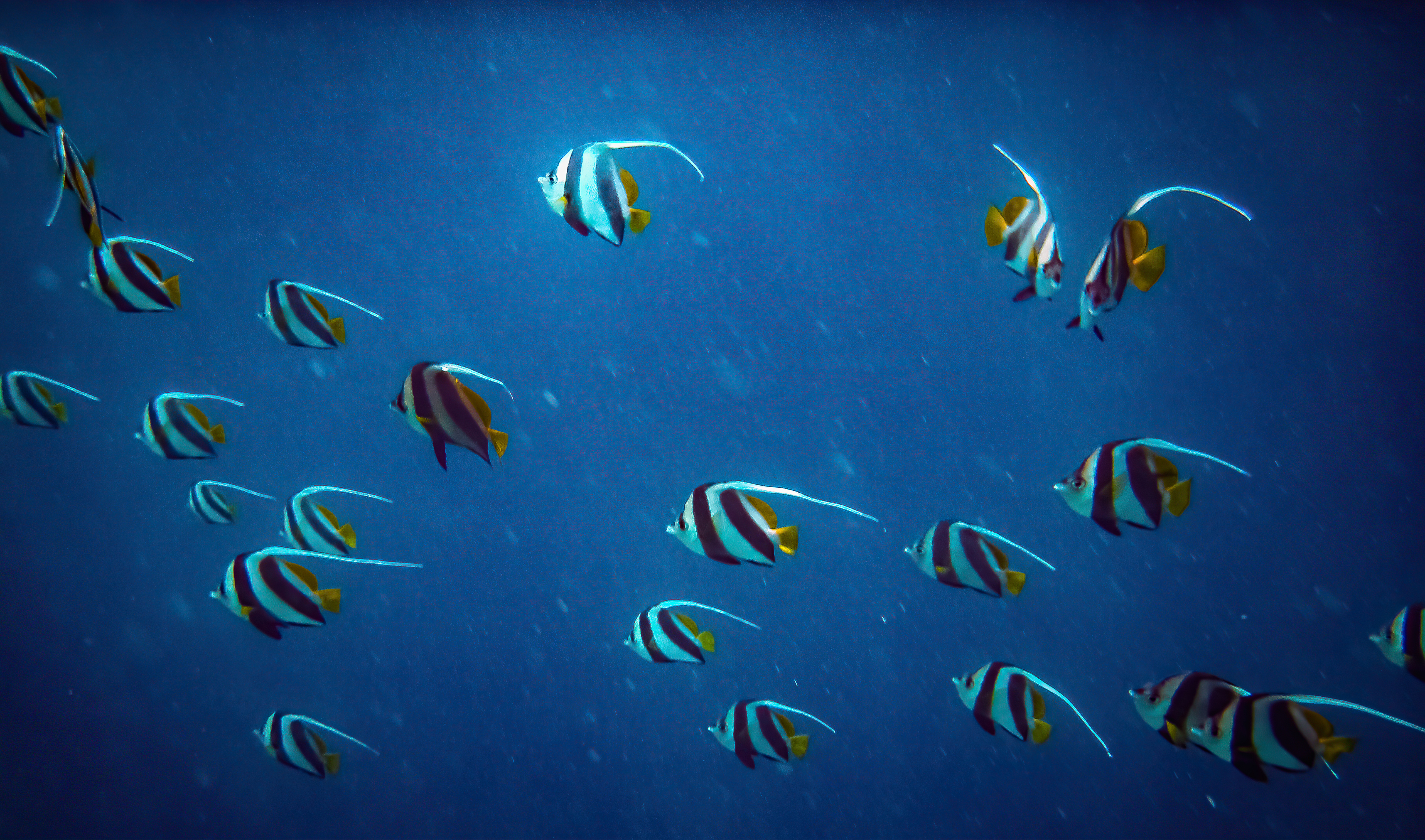 pennant coralfish 4k 1629139585 - Pennant Coralfish 4k - Pennant Coralfish wallpapers, Pennant Coralfish 4k wallpapers