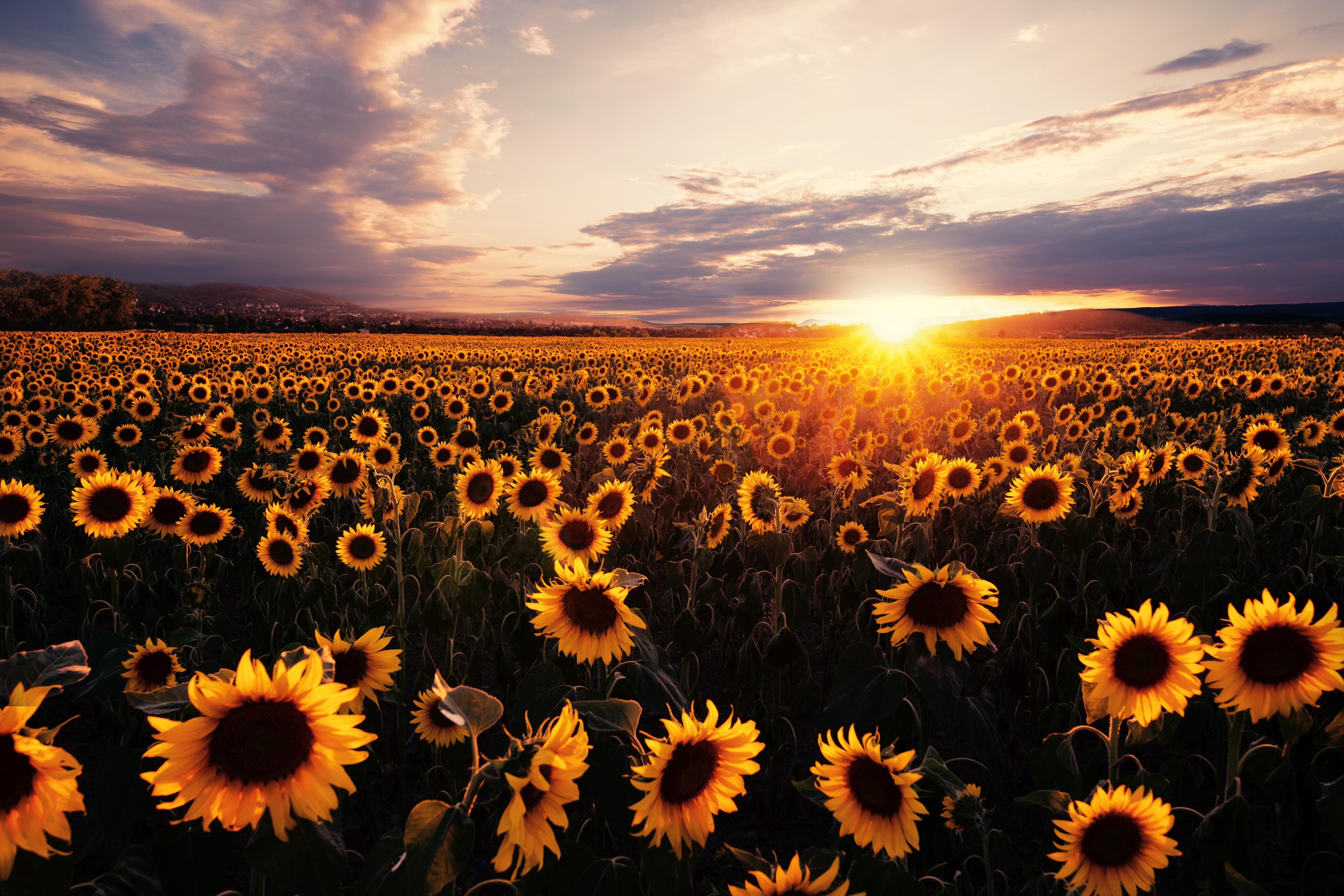 sunflowers field sunrise 4k 1629229650 - Sunflowers Field Sunrise 4k - Sunflowers Field Sunrise wallpapers, Sunflowers Field Sunrise 4k wallpapers