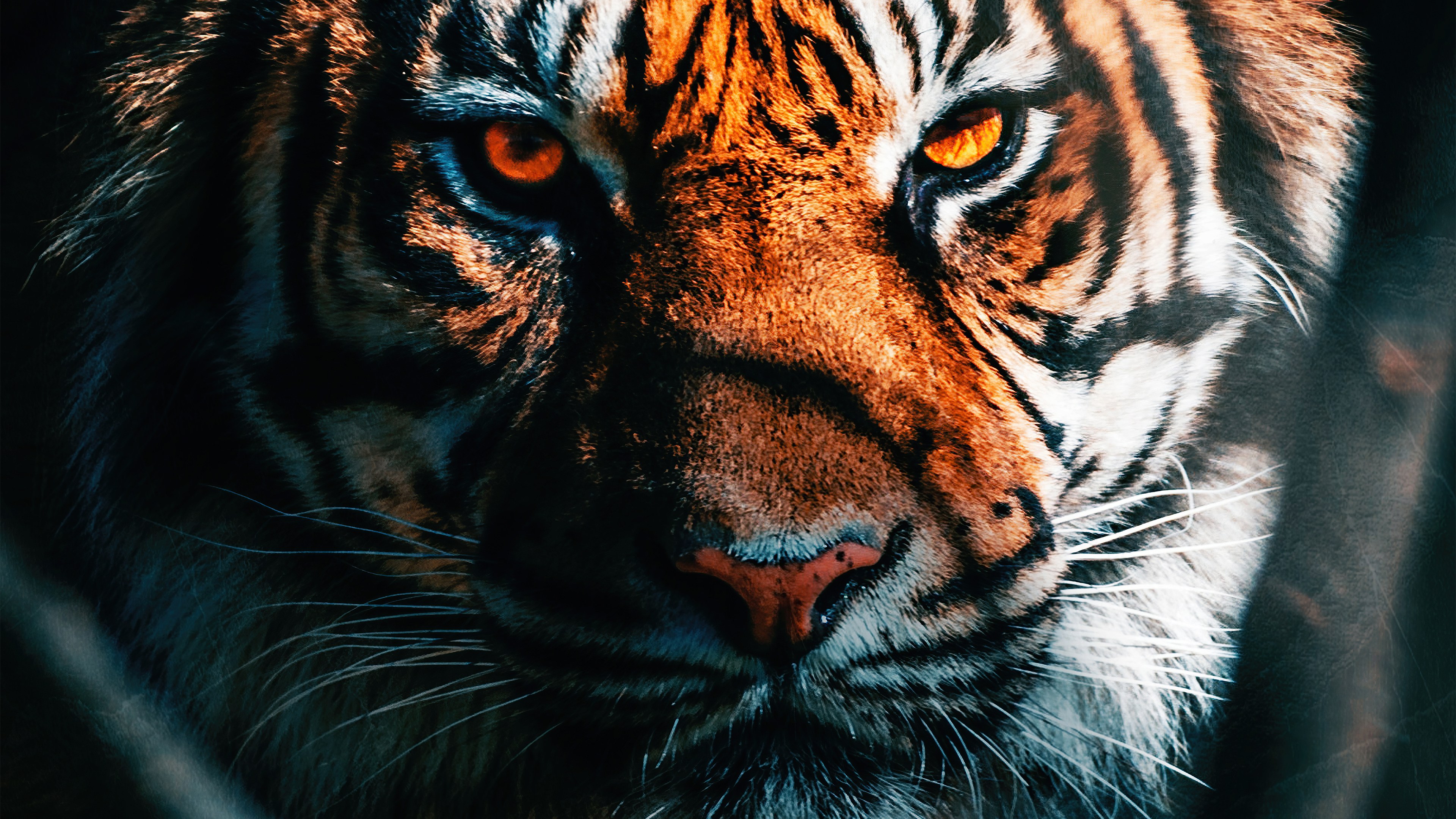 tiger close up 4k 1629139703 - Tiger Close Up 4k - Tiger Close Up wallpapers, Tiger Close Up 4k wallpapers