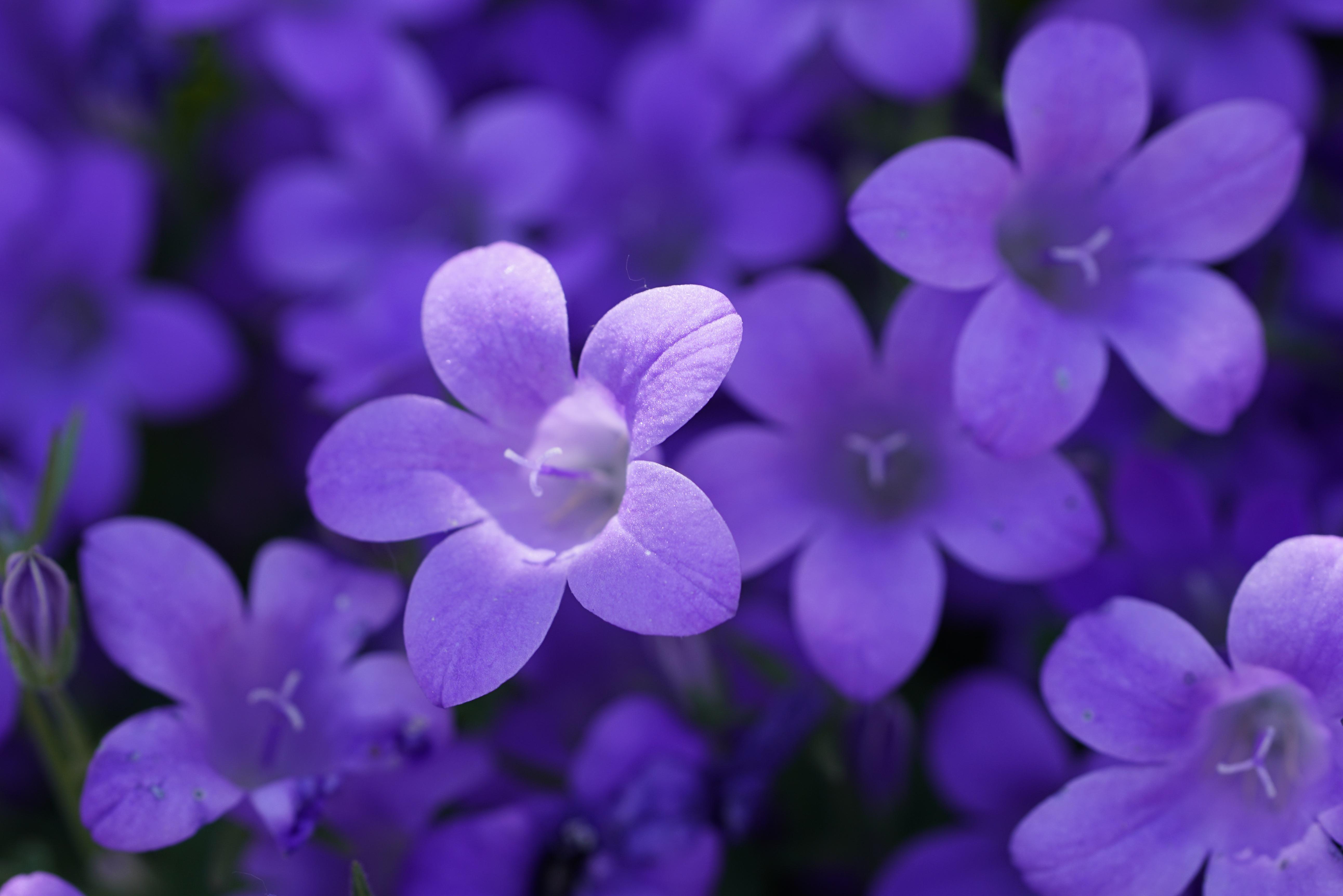 bokeh violet flowers 4k 1630616437 - Bokeh Violet Flowers 4k - Bokeh Violet Flowers wallpapers, Bokeh Violet Flowers 4k wallpapers