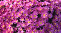violet flowers 4k 1630616437 200x110 - Violet Flowers 4k - Violet Flowers wallpapers, Violet Flowers 4k wallpapeers