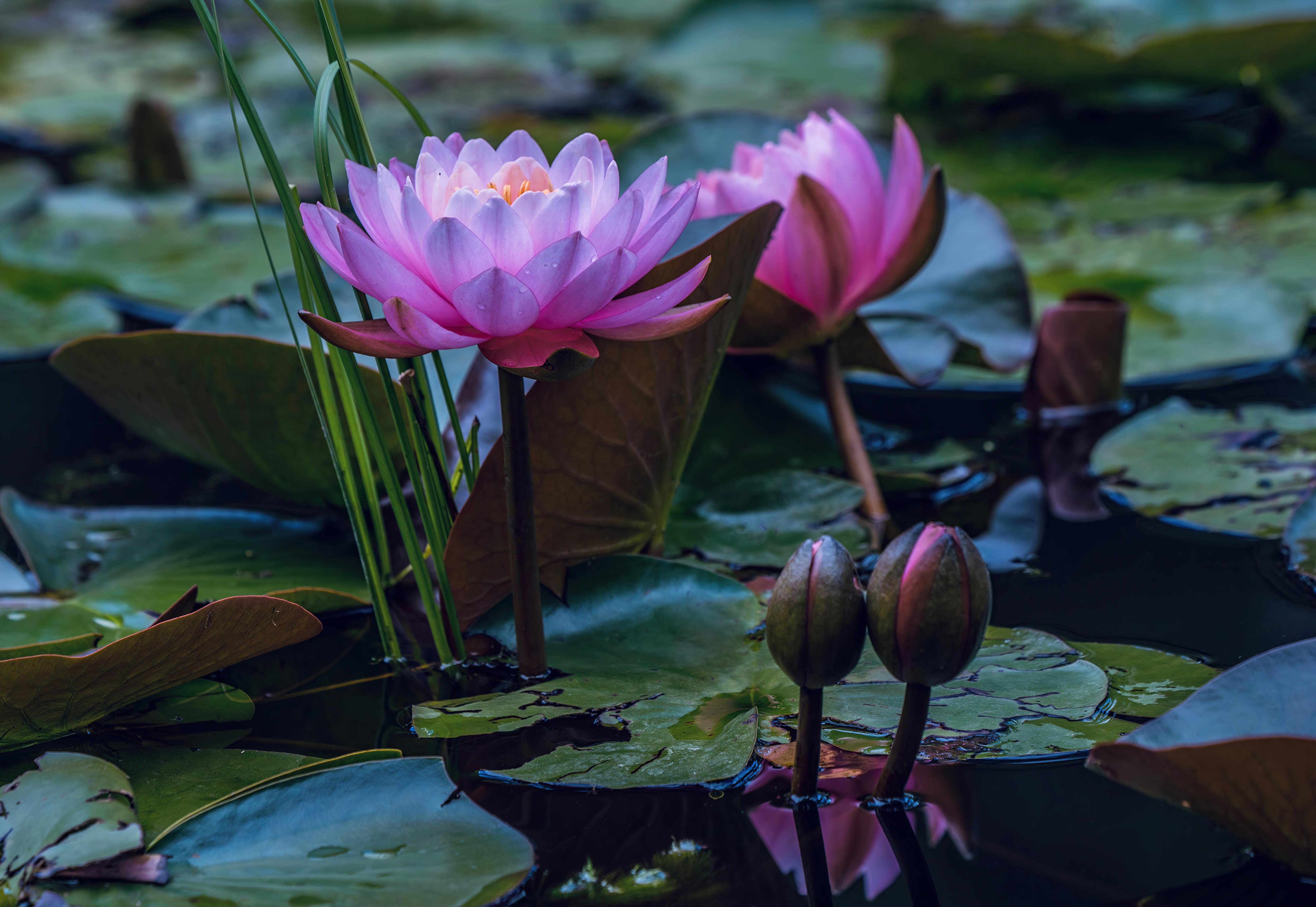 water lilies in pond 4k 1630616437 - Water Lilies In Pond 4k - Water Lilies In Pond wallpapers, Water Lilies In Pond 4k wallpaperes